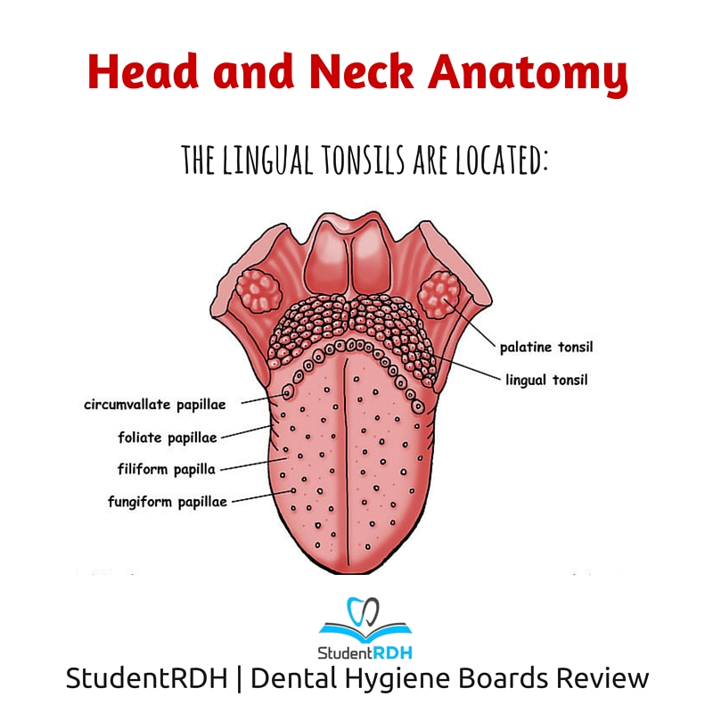 Q  Where Are The Lingual Tonsils Located